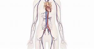 Arteries Of The Body Diagram