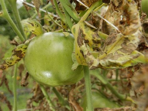 grow control tomato blight