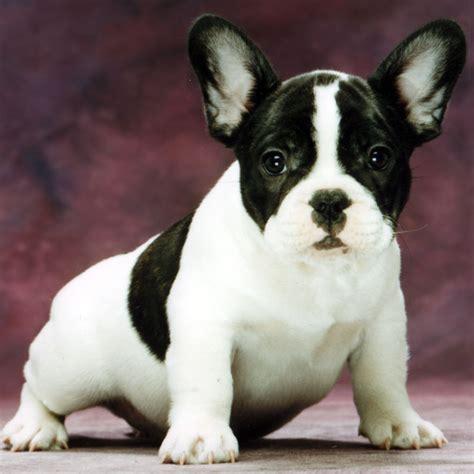French Bulldog Wiktionary