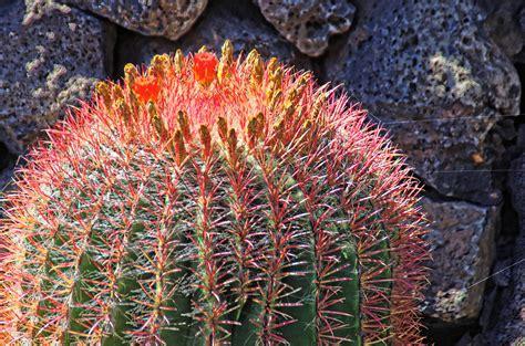 รูปภาพ : ธรรมชาติ, ต้นกระบองเพชร, ปลูก, ส้ม, สีแดง ...