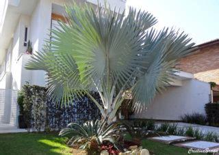 Palmeira azul – Bismarckia nobilis - Flores e Folhagens