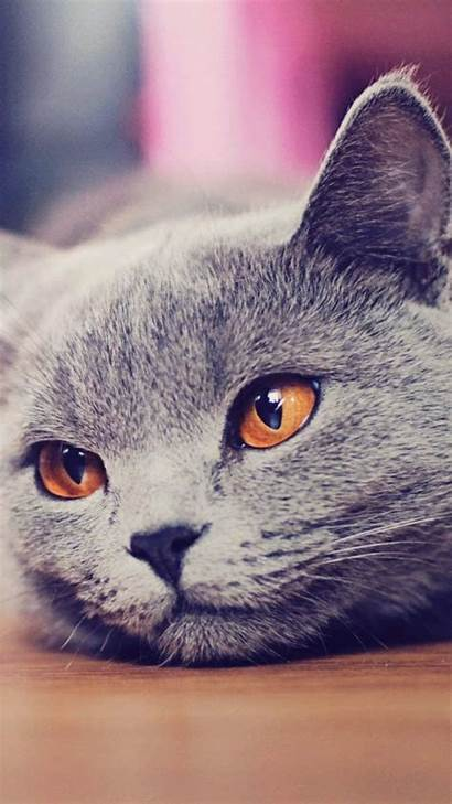 Cat Iphone Wallpapers Galaxy Cats British Shorthair