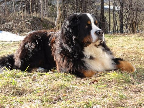 bernese mountain dogs in the rockies