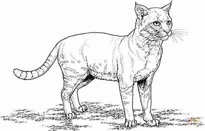 Coloring Gato Cat Realista Colorear Gatos Dibujos