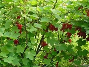 Rote Johannisbeeren Hochstamm Schneiden : johannisbeeren pflanzenkosmos ~ Lizthompson.info Haus und Dekorationen
