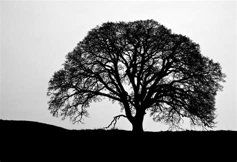 oak tree clipart black and white black oak tree clipart 54