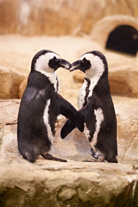 african penguin awareness western cape government