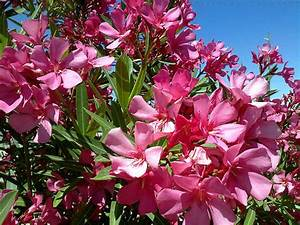 Q U0026a  Is It Safe To Recycle Oleander Wood