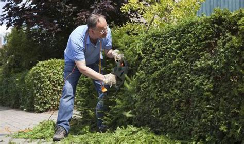 cutting bushes back gardening tips how to keep conifer hedges looking trim garden life style express co uk