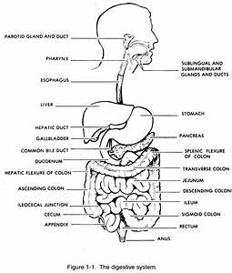 Diagram Of The Digestive System With Labels