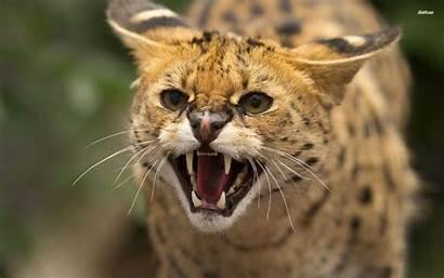 Wildcat Wallpapers Wild Cat Animal Animals Am