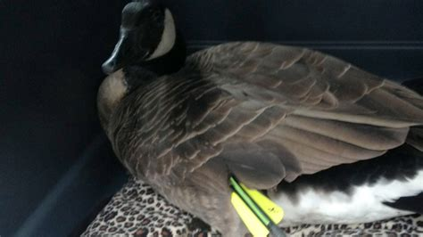 goose left  die   shot  crossbow  lake