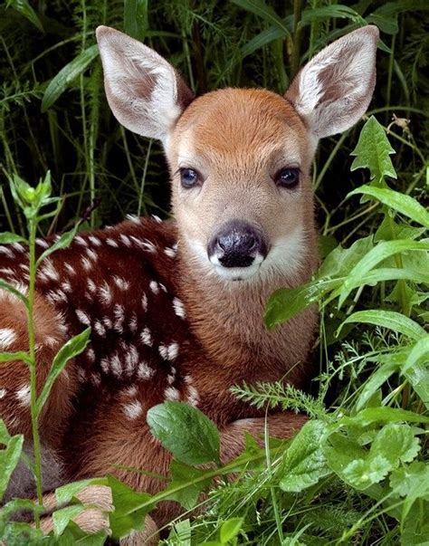 25+ Best Ideas About Baby Deer On Pinterest Fawning