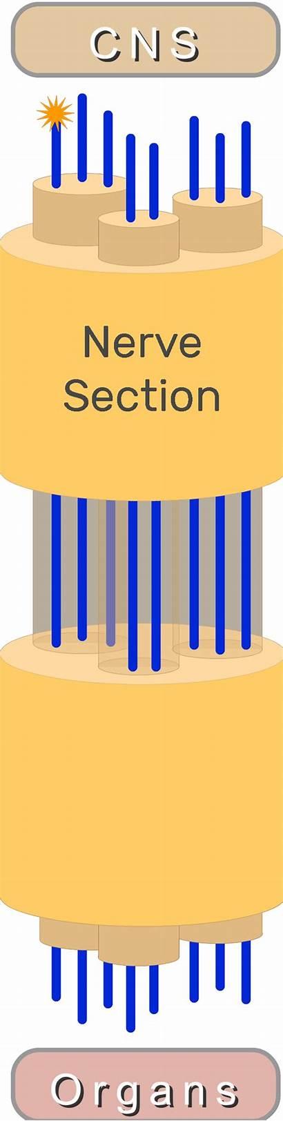 Organs Nervous System Motor Major Cns Peripheral