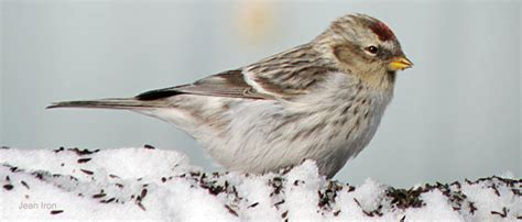 Winter Finches