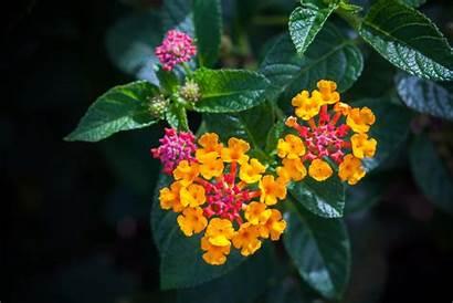 Lantana Plant Transplant Lantanas Transplanting Flowers Ornamental