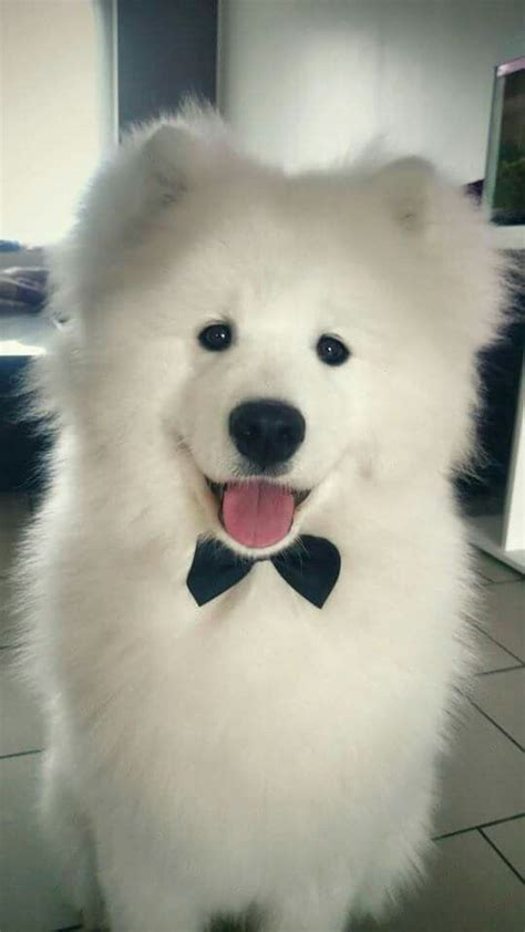 25 Best Ideas About Siberian Samoyed On Pinterest Polar
