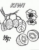 Kiwi Fruit Coloring Pages 123coloringpages sketch template