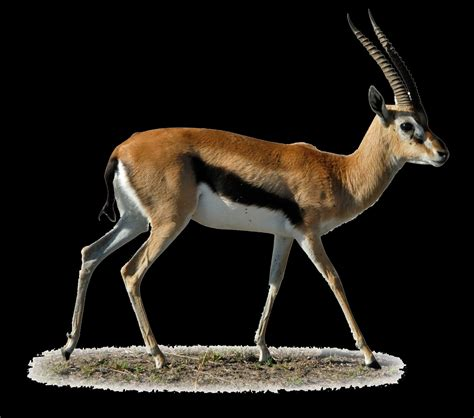 meaning  symbolism   word gazelle