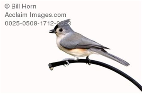 tufted titmouse clipart stock photography acclaim images