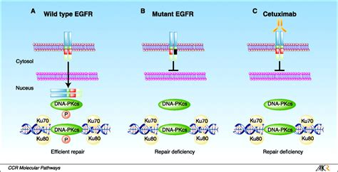 The Epidermal Growth Factor Receptor