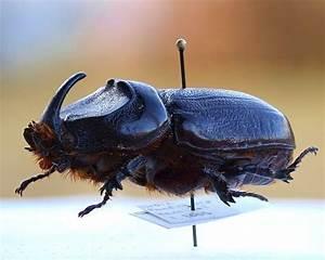 Giant 'coconut rhino beetle' invades Hawaii | MNN - Mother ...