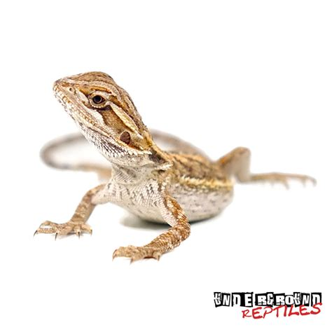 Baby Bearded Flooring by Baby High Colored Bearded Dragons For Sale Underground