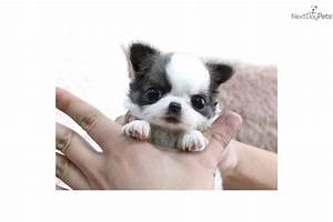 Pin Teacup Chihuahua Newborn Puppies on Pinterest