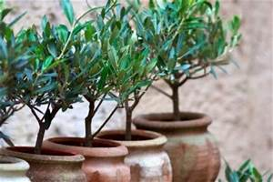 Balkon Bäume Im Topf : olivenbaum auf dem balkon so gedeiht er pr chtig ~ Frokenaadalensverden.com Haus und Dekorationen