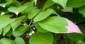 Immergrüne Kletterpflanzen Schattiger Standort : zier kiwi 60 100 14 80 euro kletterpflanze in der ~ Michelbontemps.com Haus und Dekorationen