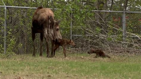 Photojournalist Captures Baby Moose Taking Its First Steps