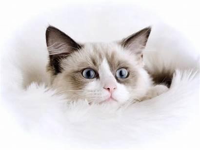 Cat Wallpapers Desktop Backgrounds Mobile Animal
