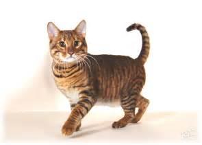 toyger cats for toyger cats for toyger cats up for stud