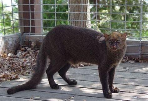 wild cat jaguarundi barnorama