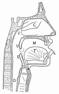 Nasal And Throat Passageways