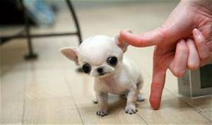 17 Best images about Dogs!!!! on Pinterest | Chihuahuas ...