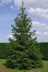 Sapin Floqué Blanc : file sapin blanc fr wikimedia commons ~ Melissatoandfro.com Idées de Décoration