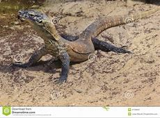 Comodo Dragon Cub Royalty Free Stock Photography Image