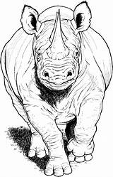 Rhino Coloring Pages Animals Running Rhinos Printable Rhinoceros Drawings Animal Sketches Supercoloring Category Colouring Drawing Sheets Nature Bible Cartoons Select sketch template
