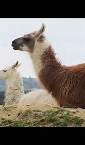llama wallpaper hd wallpapers of llamas