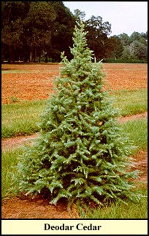 deodar cedar christmas trees grow at shady pond tree farm