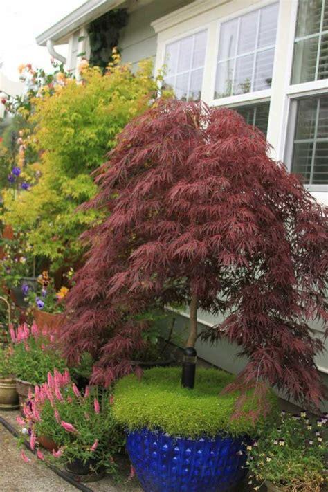 arrosage erable du japon en pot l 233 rable du japon au jardin arbre humble 224 coloris flamboyant