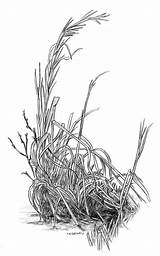 Grass Winter Drawing Draw Realistic Pencil Drawings Treadwell Tim Plants Bush Sketch Grasses Tree Trees Bushes Plant Sketching Pixels Sketches sketch template