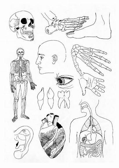 Coloring Human Pages Parts Printable Lichaam Anatomy