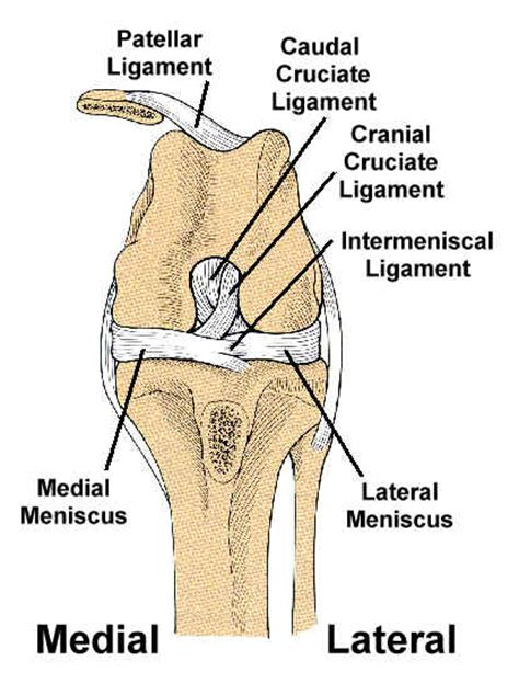 anatomy   cranial cruciate ligament ccl function