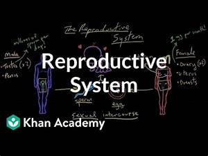 Welcome To The Reproductive System  Video