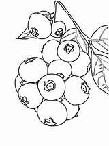 Coloring Kolorowanki Jagoda Blueberry Dzieci Dla Fruit Blueberries Colouring Bushes Bestcoloringpagesforkids sketch template