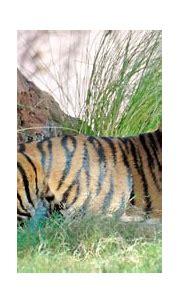 Bengal Tiger | Bengal Tiger. © 2007 White Shadow ...