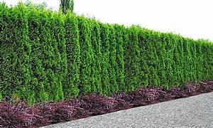 Thuja Hecke Düngen : 10 pflanzen lebensbaum hecke groupon goods ~ Lizthompson.info Haus und Dekorationen