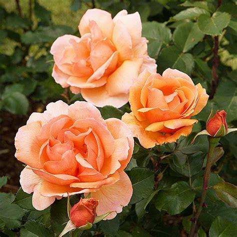 fragrant roses   garden  homes